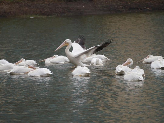 American White Pelicans on Bayou DeSiard at the University of Louisiana at Monroe.