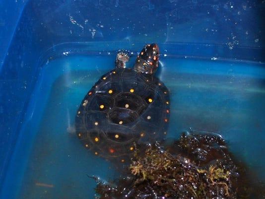 636668240078022839-Turtle-spotted.JPG