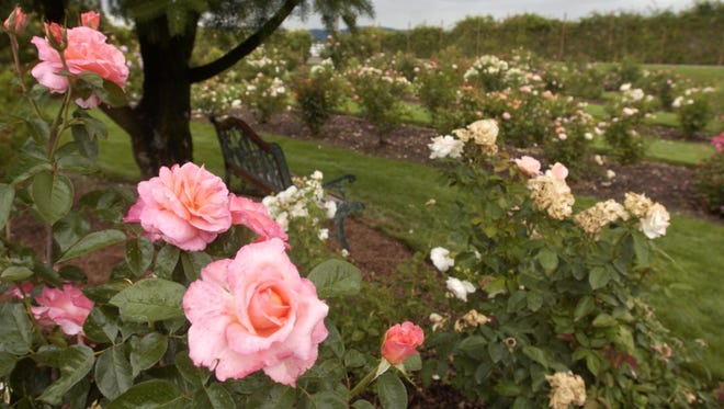 Roses fill the gardens at Heirloom Roses in August. The gardens in St. Paul sell their roses online and through their catalog.