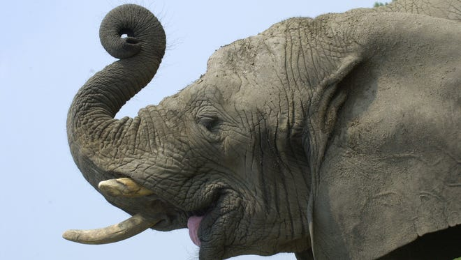 -  An elephant curls its trunk while begging for a treat at Six Flags Great Adventure in Jackson.