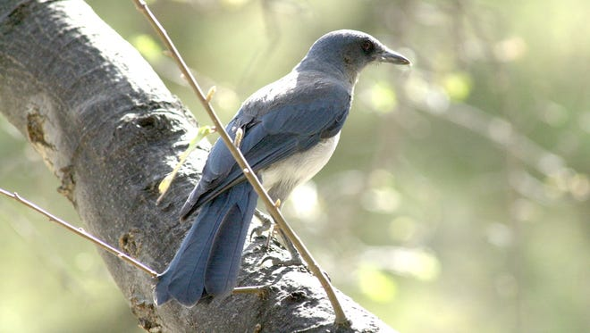 This Mexican jay was spotted at Madera Canyon south of Tucson.