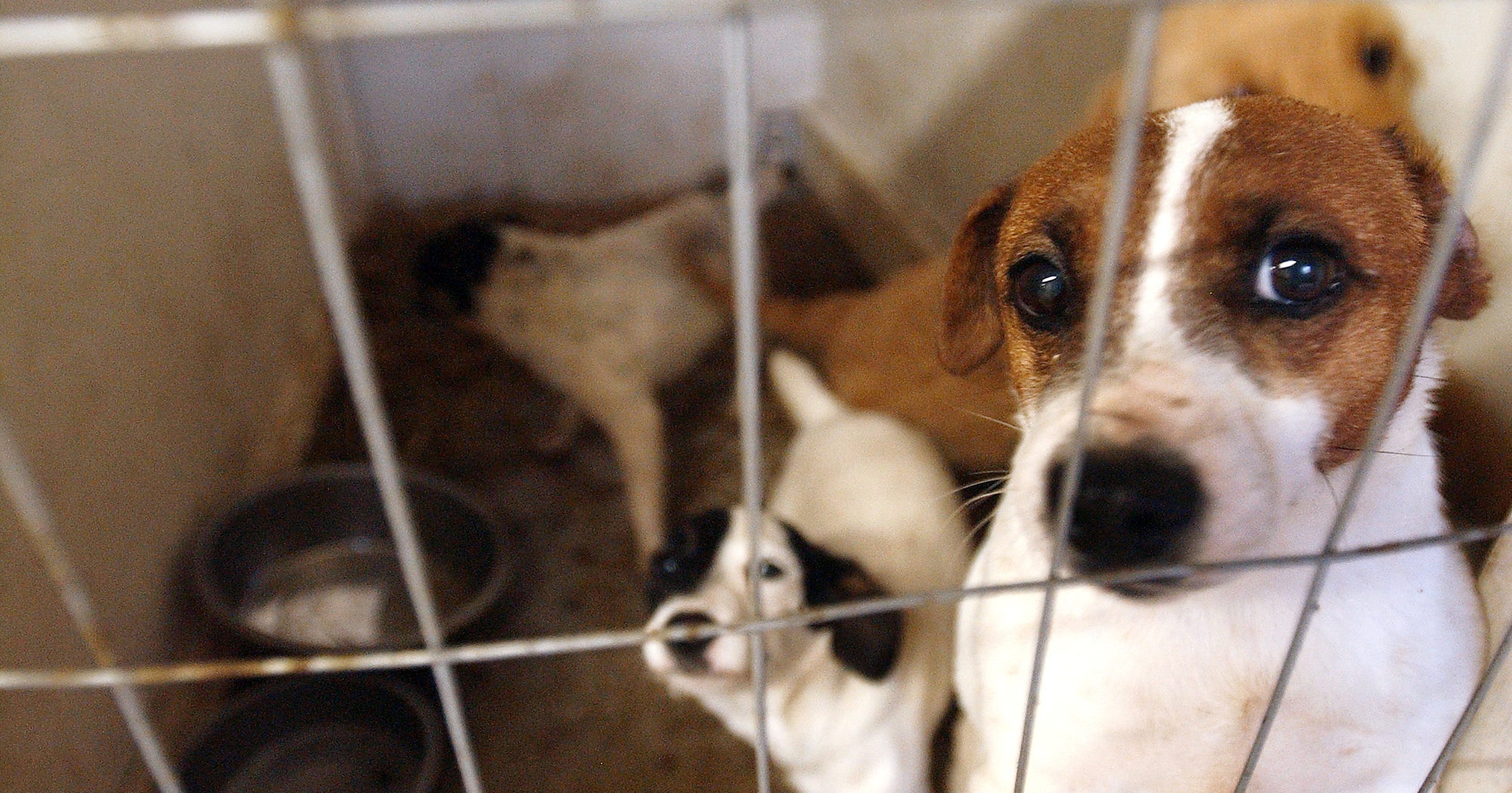 Puppy mills: Why NY will try again to ban them