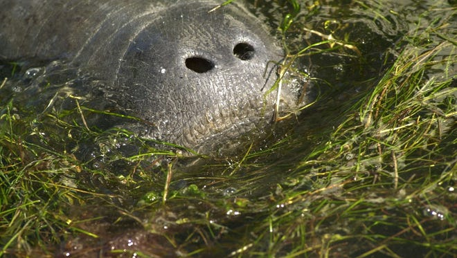 A manatee munches on seagrass in the Indian River Lagoon.