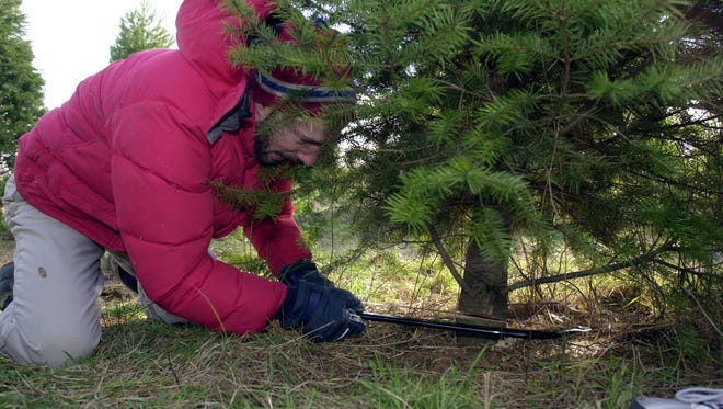 Ira Handler of Briarcliff Manor, cuts down a Christmas tree at Wilkens Fruit and Fir farm in Yorktown Nov. 30 2003.