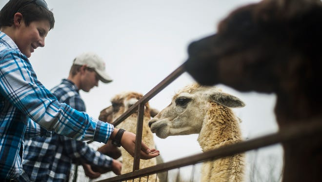 Jacob Stoner, 13, with his brother Josh, 14, background, feed their alpacas Tuesday Oct. 27, 2015 at the family-owned Big Rock Alpaca Farm near East Berlin. The Stoner family has been raising alpacas for 12 years and currently has 14 alpacas, among other animals on their farm.    Shane Dunlap - The Evening Sun