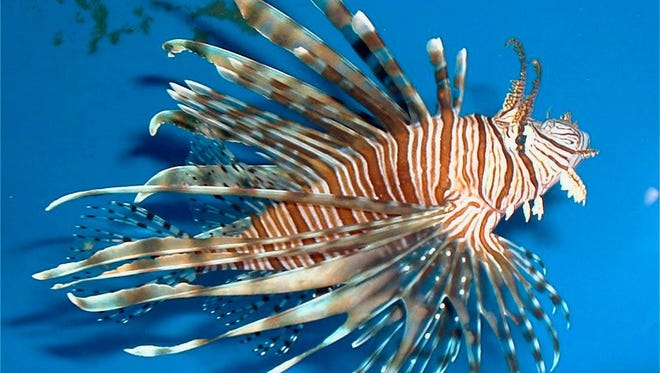 Lionfish like this one will be the target of ocean divers in the Sebastian Lionfish Fest tournament out of Capt. Hiram's Resort in Sebastian on May 20-21. Cash prizes will go for the most lionfish, the largest lionfish and the smallest brought in for weighing. A Lionfish Cookoff also will be held.