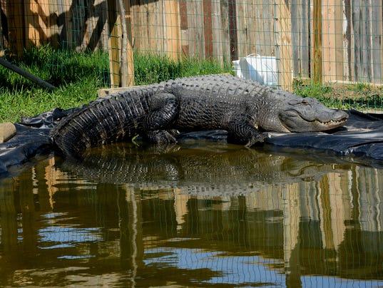 Crocodile In Pool Today Video