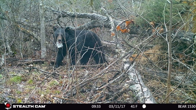 A black bear emerges from its piled-leaf den in Ozark County in this 2017 trail cam photo.