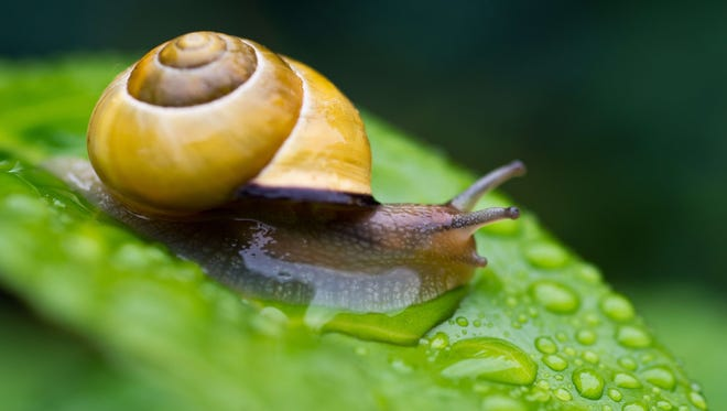 A new painkiller uses venom from snails.