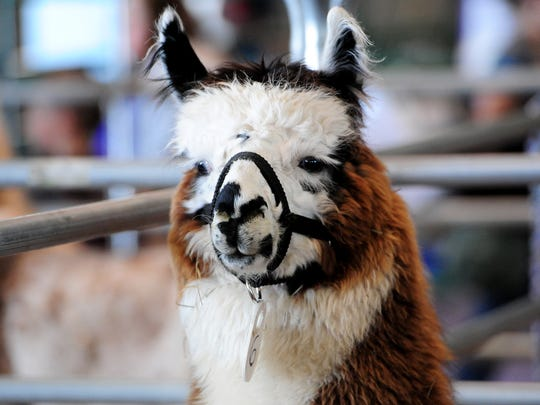 Check out the llama drama April 29-30 at the Oregon State Fairgrounds.