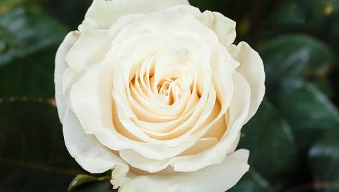 White roses to...