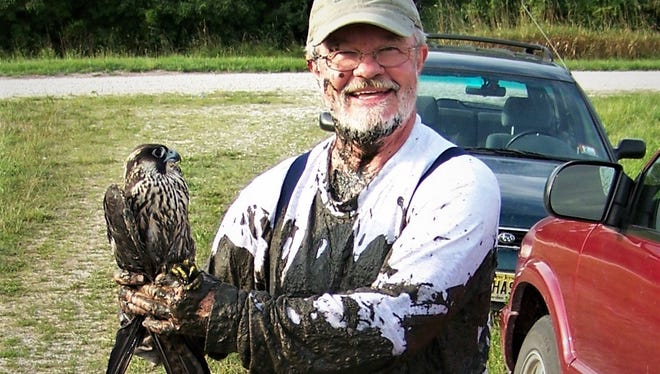 Tom Bartlett, a retired educator from Tiffin, gets muddy to free this peregrine falcon from his bird-banding net.