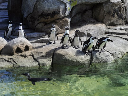 The Maryland Zoo's recently renovated penguin habitat, Penguin Coast, is home to a flock of about 65 birds.