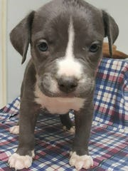 Joshua Robert is one of Animal Village NM's puppies who will say hello to plant shoppers Saturday.