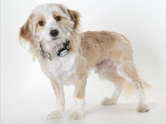 Wilfred, 3-year-old male Monterey Jack terrier mix. No. 101551.