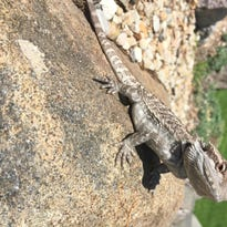 University of Wisconsin staff find a bearded dragon sunning itself near Bascom Hall