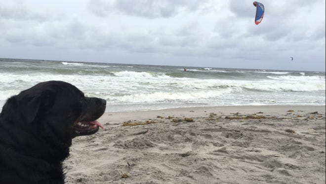 Alan Aronson's 3-year-old Rottweiler, Quatro, watches kite-surfers on Delray Beach as Hurricane Matthew approached on Oct. 6, 2016.