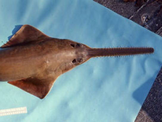 An image of a young smalltooth sawfish