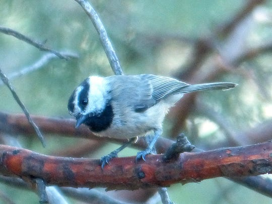 A chickadee waits his turn.