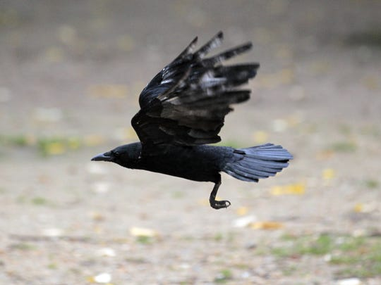 Opponents to a crow shoot planned for central Vermont say it hasn't really been cancelled as the president of the sporting club sponsoring the event claimed, but that it has been renamed and will still happen.