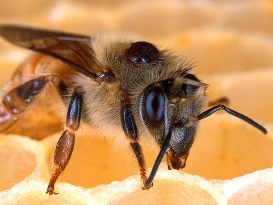 A honey bee with a parasitic Verroa mite attached to