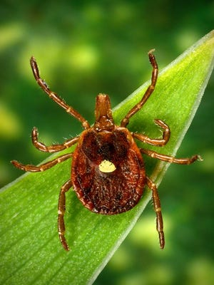 More viruses could be spread through ticks this year.