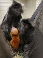 Hey, that monkey's orange! A newborn silvered leaf langur is seen with adults at Zoo Knoxville. The infant born Dec. 21 was a holiday surprise. The newborn's orange fur will gradually turn into the gray-silver of adults.