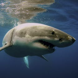 """Jeff Kurr, a filmmaker for Discovery Channel's Shark Week, says it's important to keep in mind that """"you're more likely to be killed by a neighborhood dog, a cow, a deer, even a toaster than to die in a shark attack."""""""