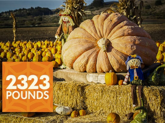 The world record heaviest pumpkin weighed 2,323 pounds.