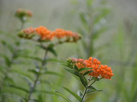 Butterfly weed.