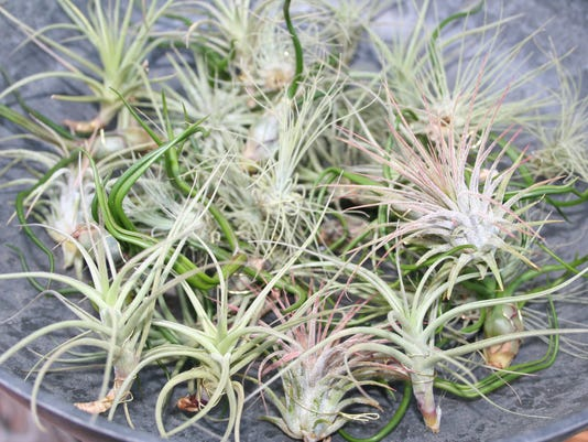 Tillandisias range in price from $4.00 to $30.jpg