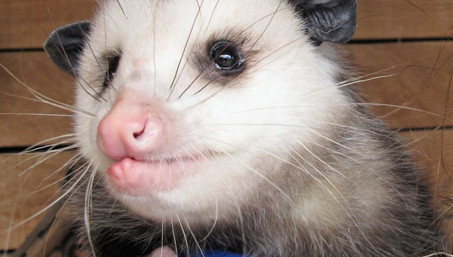 Opossums get a really bad rap because of their defense mechanisms.They are generally amicable creatures, but when frightened, they widely open their mouths and hiss to show off all 50 menacing teeth.