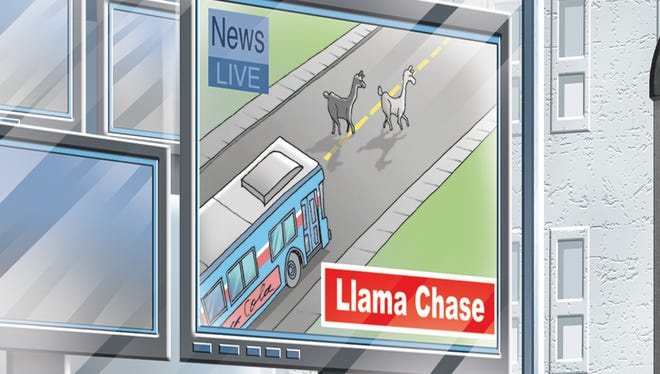 What's more unusual than a pair of llamas on the run?