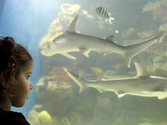 Roslyn Boden, 3, watches two bonnethead sharks swim by at the Greater Cleveland Aquarium, in Cleveland.  ASSOCIATED PRESS / TONY DEJAK Roslyn Boden, 3, watches two bonnethead sharks swim by at the Greater Cleveland Aquarium Thursday, Feb. 9, 2012, in Cleveland. (AP Photo/Tony Dejak)