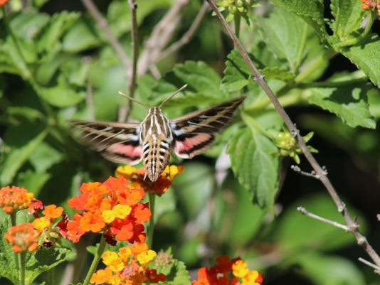 The White Lined Sphinx Moth