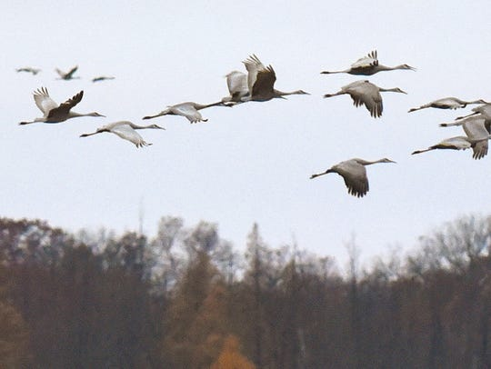 Migrating sandhill cranes take off from the St. Francis