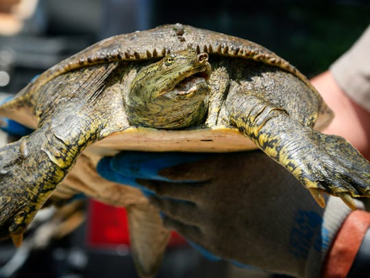 A spiny soft shell turtle captured and measured by