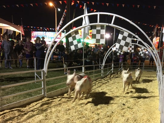 The racing pigs head down the home stretch at the state fair on opening night. They aren't born to run, but they know what's waiting for them at the finish line.