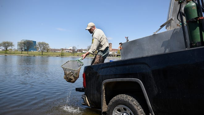 Area Fisheries Manager Eric Altena releases a net full of kamloops rainbow trout into Lake George on May 5, 2017, in St. Cloud. About 200 of the fish were released in anticipation of a kid's fishing event at Lake George, part of the governor's fishing opener.