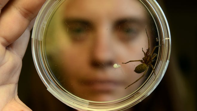 Rose Malisani, MSU Extension agent, holds up a female hobo spider at the MSU Extension office. The hobo spider, which is native to Montana, is not a threat to people, experts say.