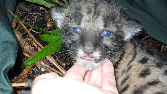 Biologists examine an endangered Florida panther kitten in this May 26, 2011, photo.