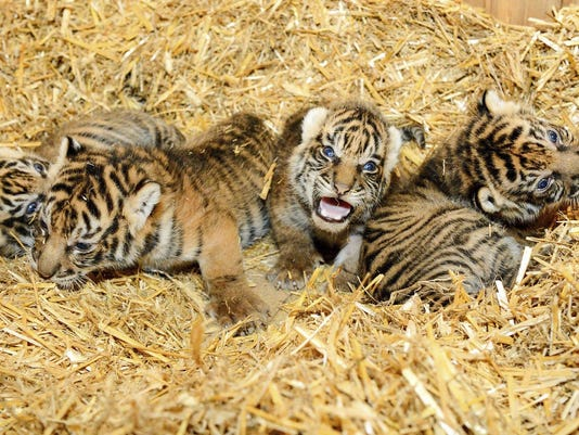 Germany Tiger Cubs
