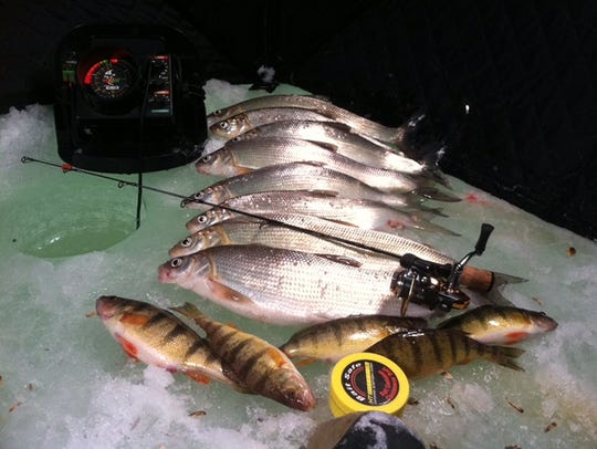 Whitefish and perch are also being caught regularly