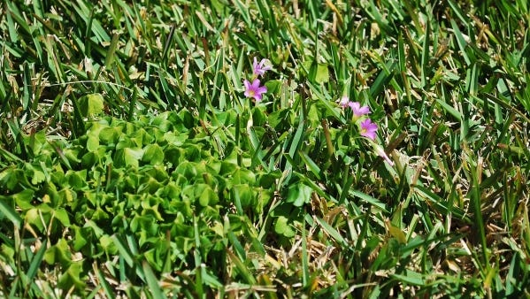 Weeds in the turf indicate a need to evaluate maintenance practices.