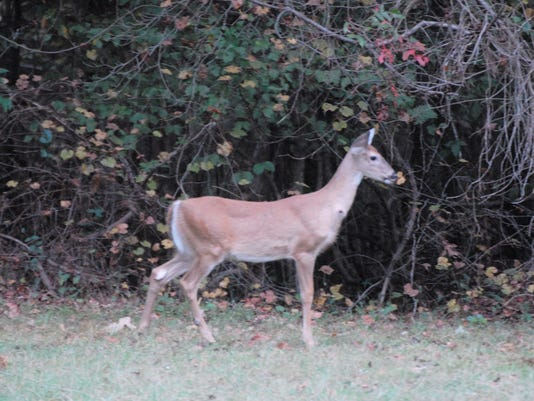 636120421029156632-16-October-16-CA-Outdoors-photo-of-doe-from-TWRA.JPG