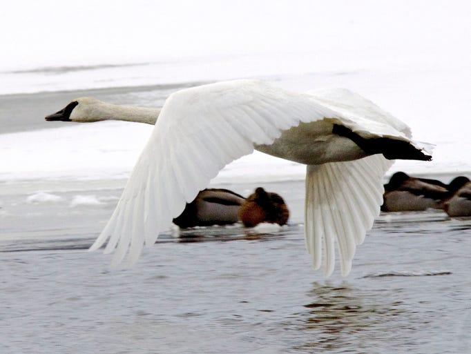 A trumpeter swan in flight in November 2014.