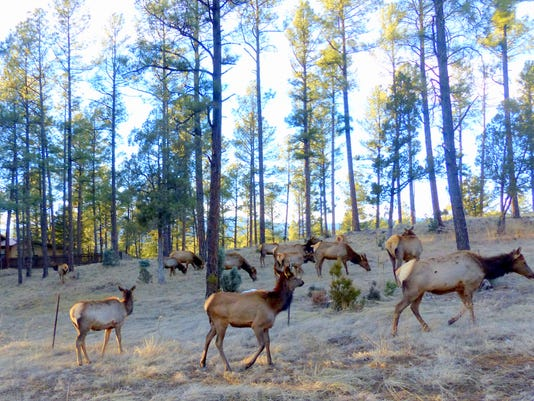 elk herd in ruidoso