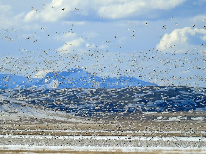 Some of the 20,000 snow geese at Freezout Lake on Friday