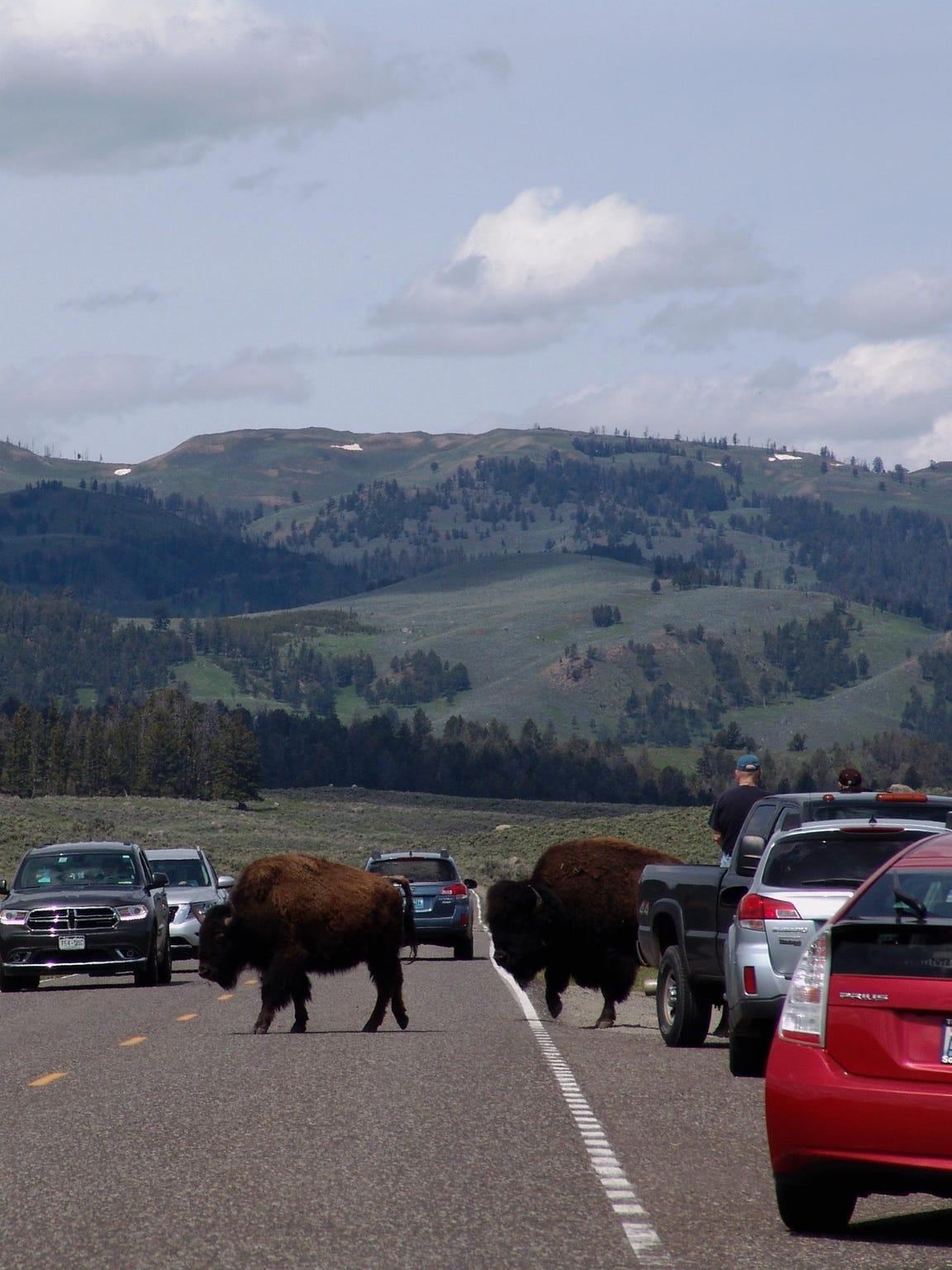 FAL 0628 Science of bison-bison traffic.jpg_20150609.jpg