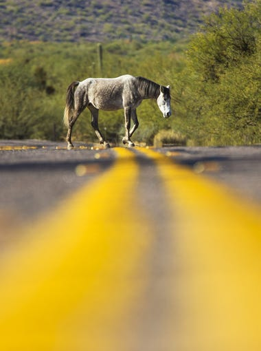 Wild horses cross Coon Bluff Rd. in the Tonto National Forest near Mesa, Ariz. December 27, 2017.